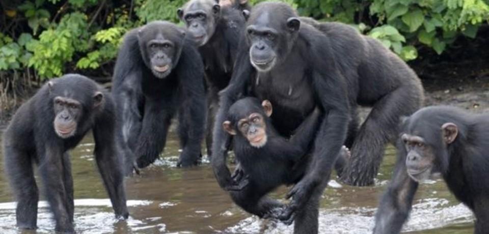 Chimpanzés infectados e abandonados por laboratório de NY 'colonizam' ilhas africanas